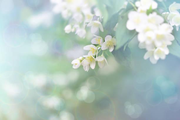 jasminblüte, zweig der schönen jasminblüten - weichzeichner stock-fotos und bilder
