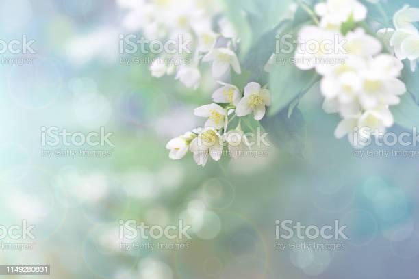 Photo of Jasmine flower, branch of beautiful jasmine flowers