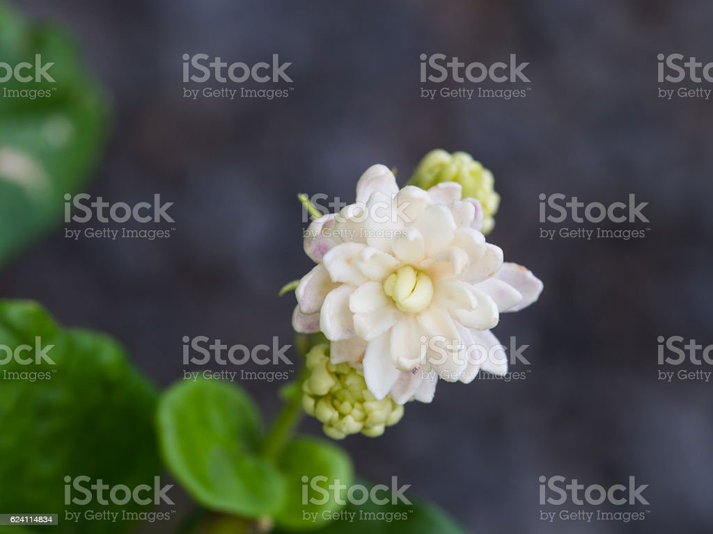 Jasmine Flower In The Garden Stock Photo More Pictures Of