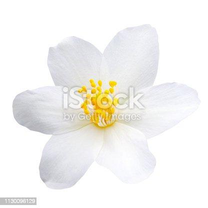 istock Jasmine flower isolated on white background 1130096129