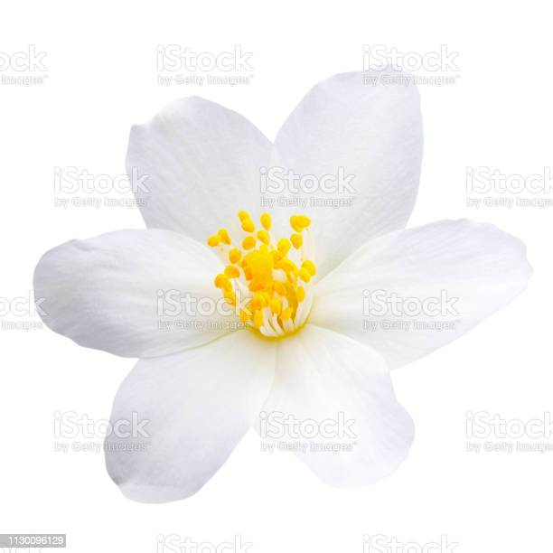 Jasmine flower isolated on white background picture id1130096129?b=1&k=6&m=1130096129&s=612x612&h=mmrayf3kjvbydvysyvfyga9w6vjaotrsvf17trqo77a=