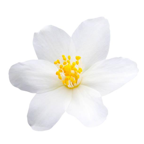 흰색 배경에 고립 된 재 스민 꽃 - 재스민 뉴스 사진 이미지