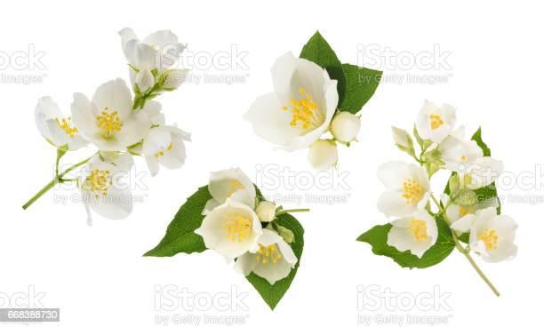 Jasmine flower isolated on white without shadow picture id668388730?b=1&k=6&m=668388730&s=612x612&h=otolbwaswee6qjzpdn49svnufkmupwbg 0 xdsvaj1i=