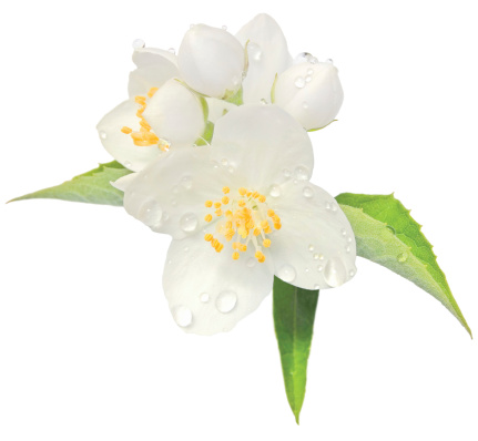 Jasmine flower mock orange blossom macro closeup isolated, Philadelphus coronarius