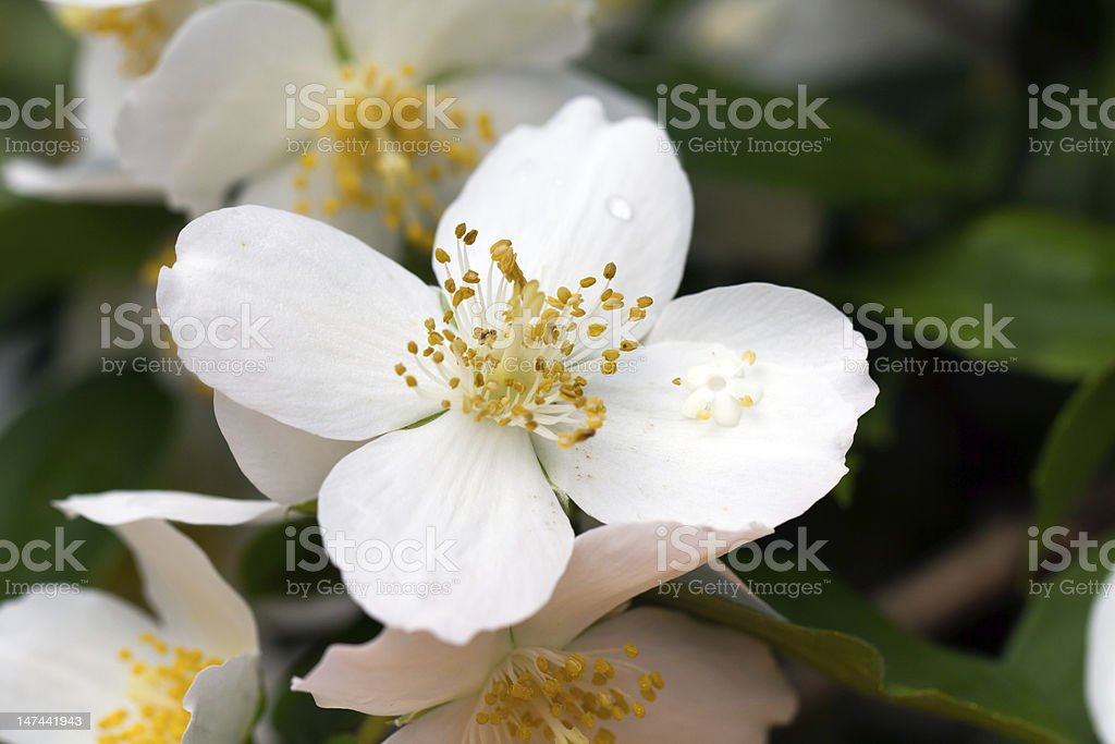 Jasmine Flower royalty-free stock photo
