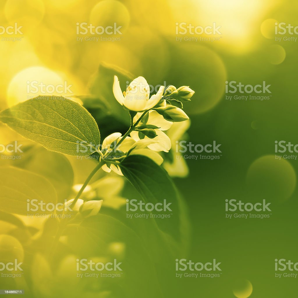 Jasmine Flower Stock Photo More Pictures Of Backgrounds Istock