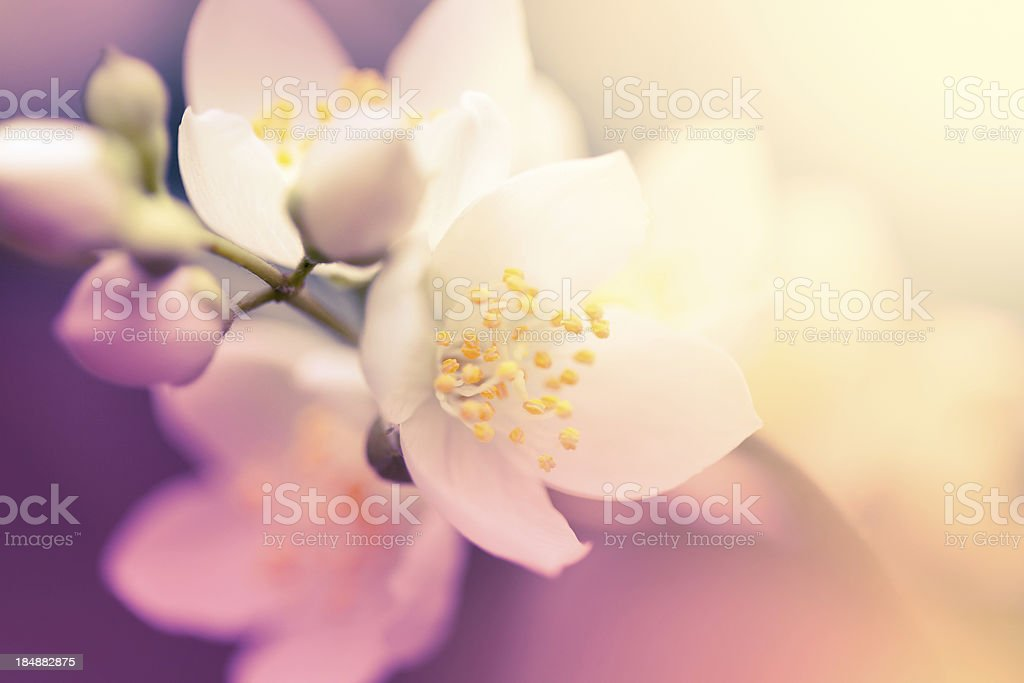 Jasmine flower stock photo