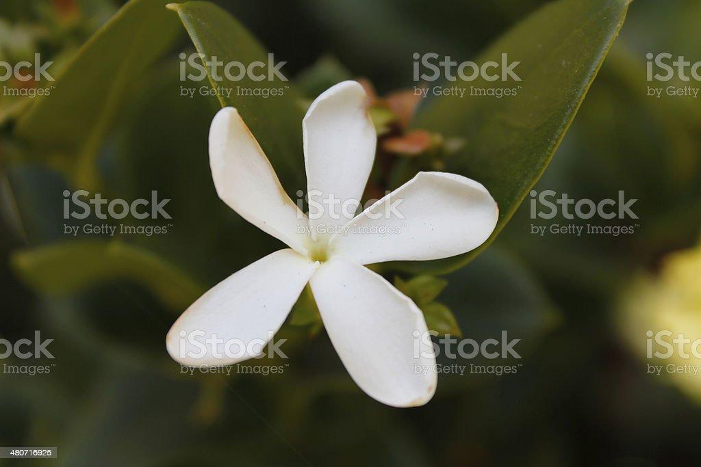 Jasmine Flower stock photo