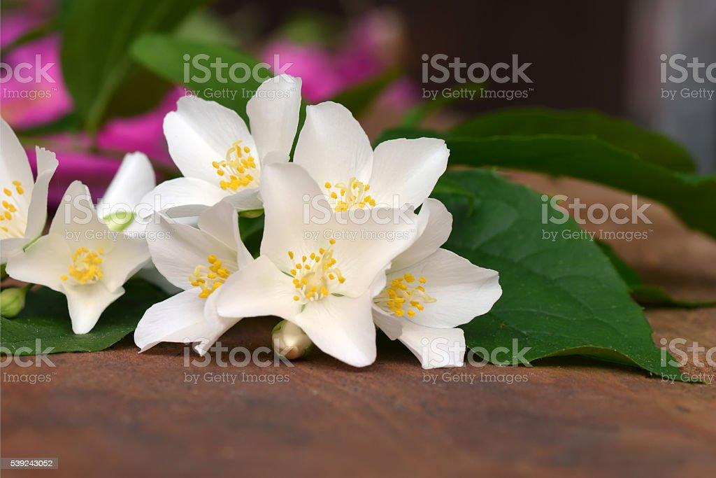 Jasmine flor  foto de stock libre de derechos
