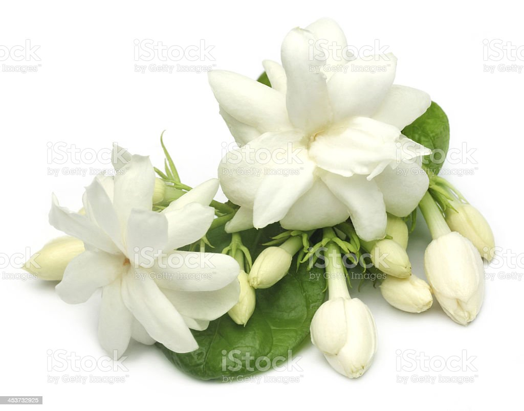 Jasmine flower with leaves stock photo