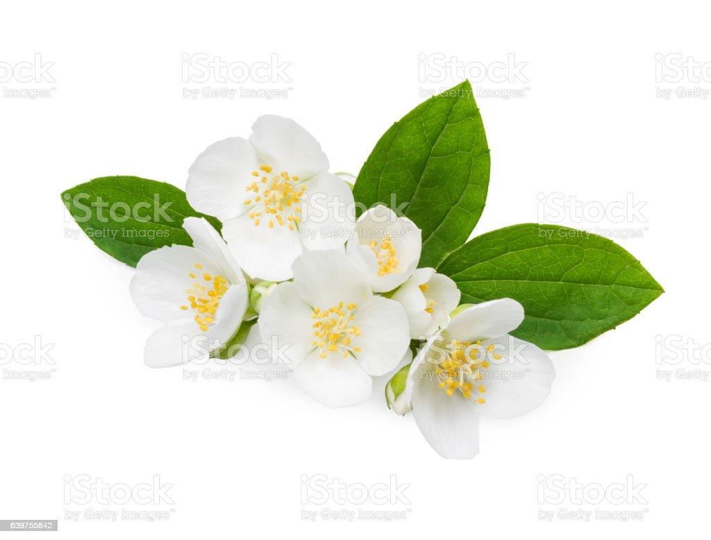 Jasmine flowers and leaves stock photo