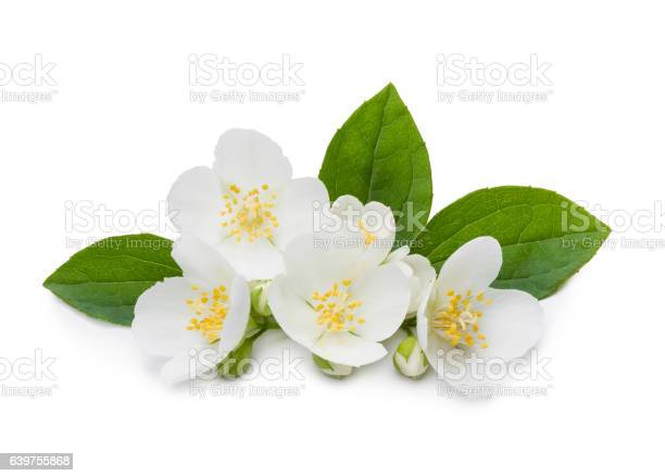 Jasmine flowers and leaves picture id639755868?b=1&k=6&m=639755868&s=612x612&h=zxzhflh3cextbp ir0b5kqe5txogaad9n6b8ih3722i=