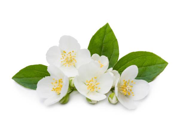 jasmine 꽃 및 잎 - 재스민 뉴스 사진 이미지