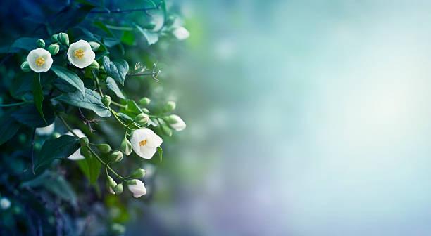 Jasmine flowers background picture id526835772?b=1&k=6&m=526835772&s=612x612&w=0&h=ymo4wq8vdmy3ezrx64nbdgeopjlkbatj9kvhi95z ry=