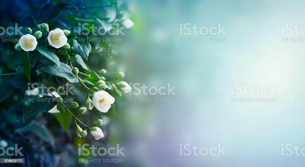 Jasmine flowers background stock photo