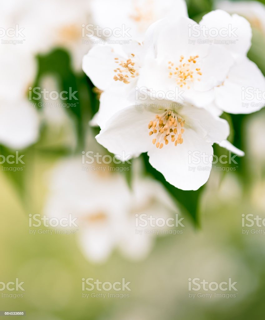Jasmine Flowers Blooming In Spring Garden Stock Photo More