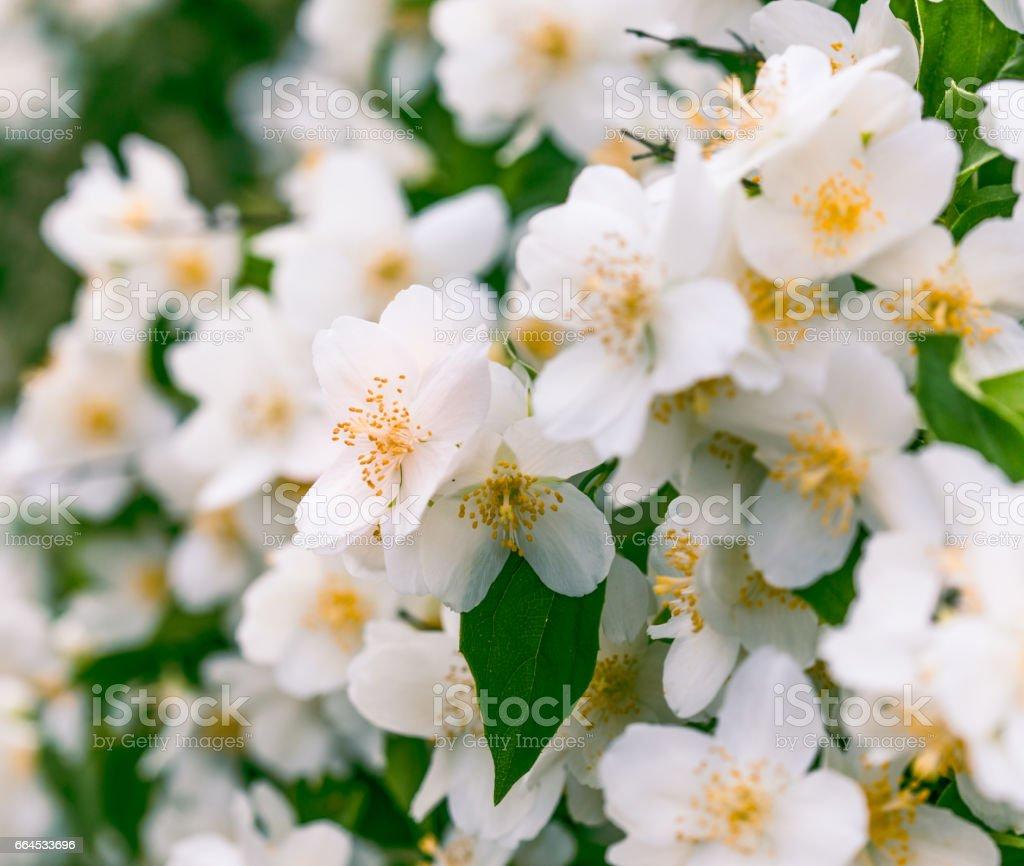 Jasmine flowers blooming in spring garden stock photo