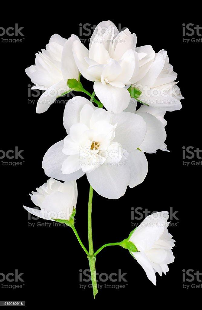 Jasmine flowers isolated on black background stock photo