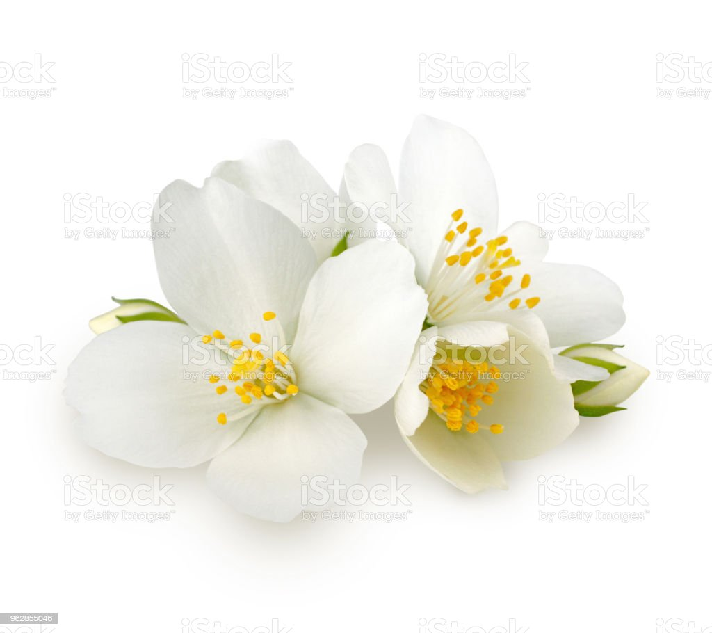 Jasmine Flowers Isolated On White Background Stock Photo More