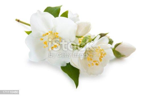 Close-up shot of jasmine flowers. Isolated on white.