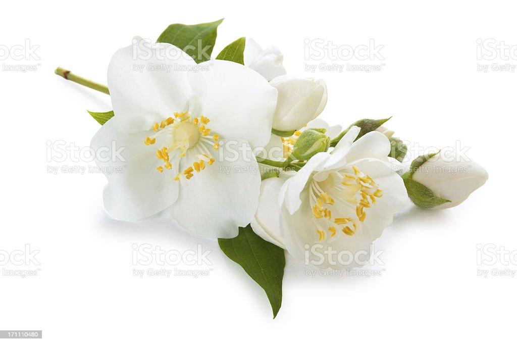 Jasmine flowers on white background stock photo