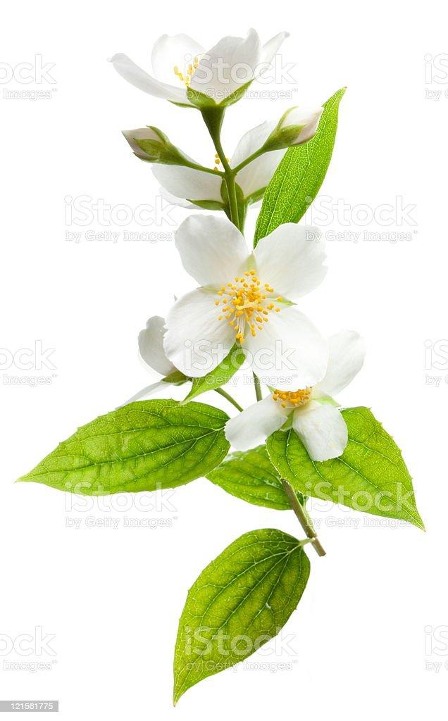 Jasmine flowers. stock photo