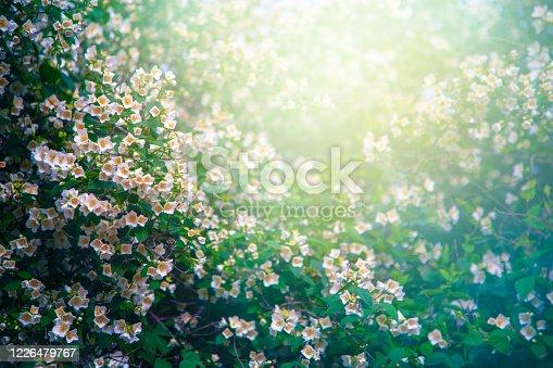 Beautiful dreamy jasmine flowers with copy space