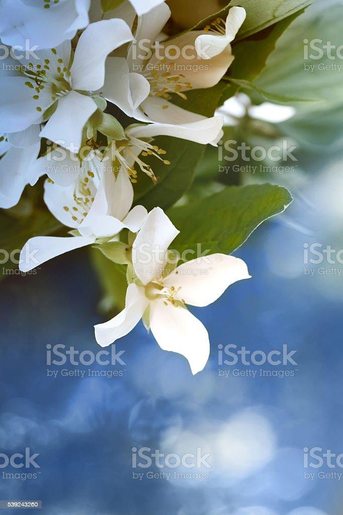 Jasmine flores  foto de stock libre de derechos