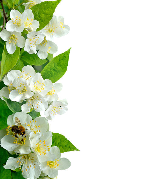 Jasmine flowers with bee isolated on white - Photo