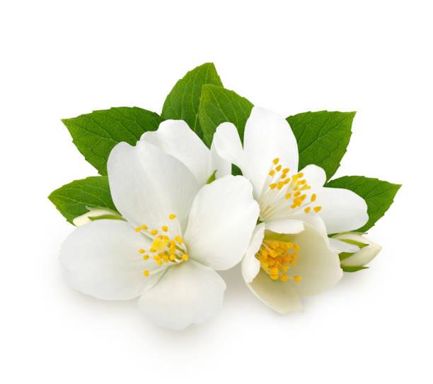 흰색 배경에 고립 된 잎과 재 스민 꽃 - 재스민 뉴스 사진 이미지