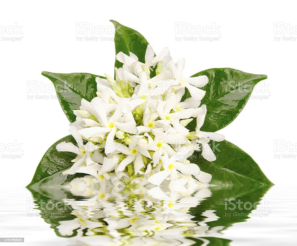 Jasmine Flowers With Reflection In Water Stock Photo More Pictures
