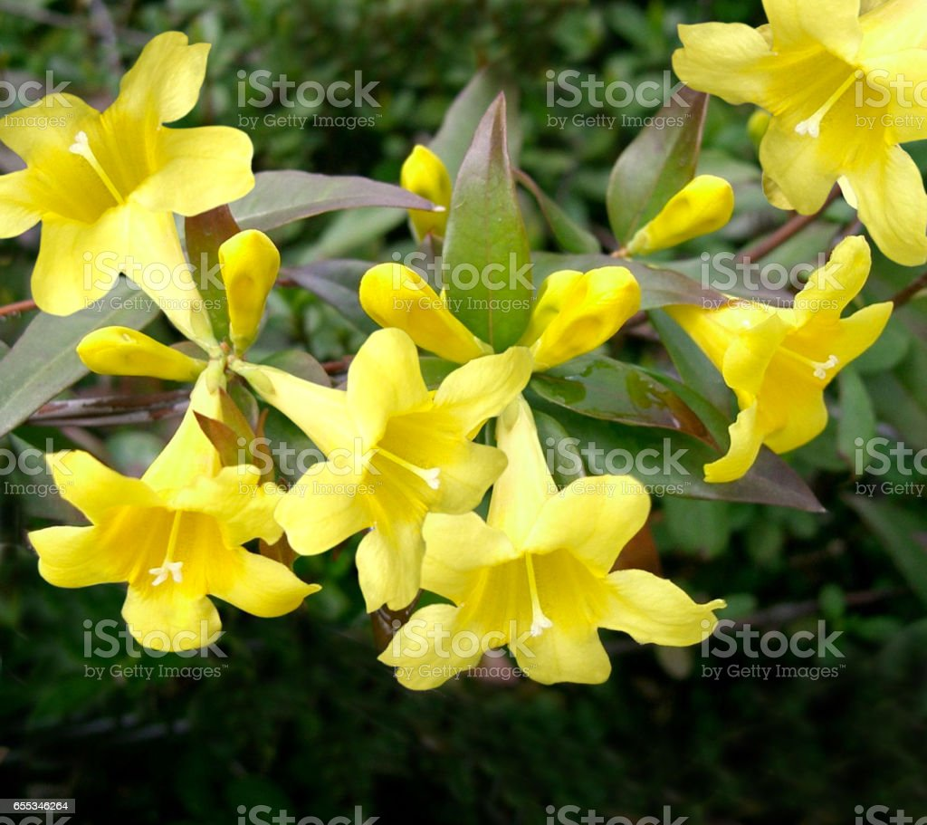 Jasmine gelsemium sempervirens stock photo more pictures of cut flowerbed plant germany cut out flower jasmine izmirmasajfo