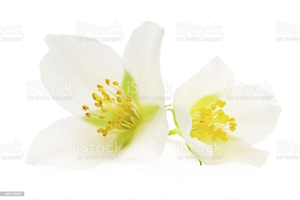Jasmine isolated on white background stock photo