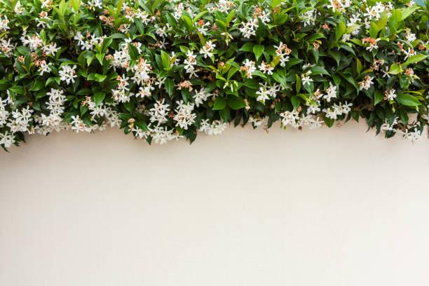 벽, 자연에서 야외 사진 아름다움에 재 스민 - 재스민 뉴스 사진 이미지