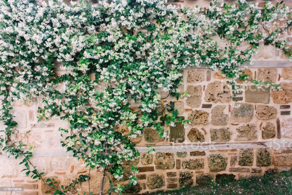 jasmine on wall, outdoor photo beauty in nature stock photo