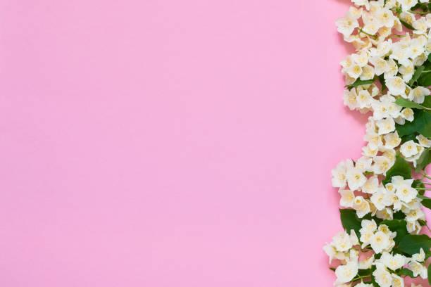jasmin, philadelphus oder mock-orange blüten grenzen auf rosa hintergrund. kopierplatz, obere ansicht. grußkarte. - jasmin party stock-fotos und bilder