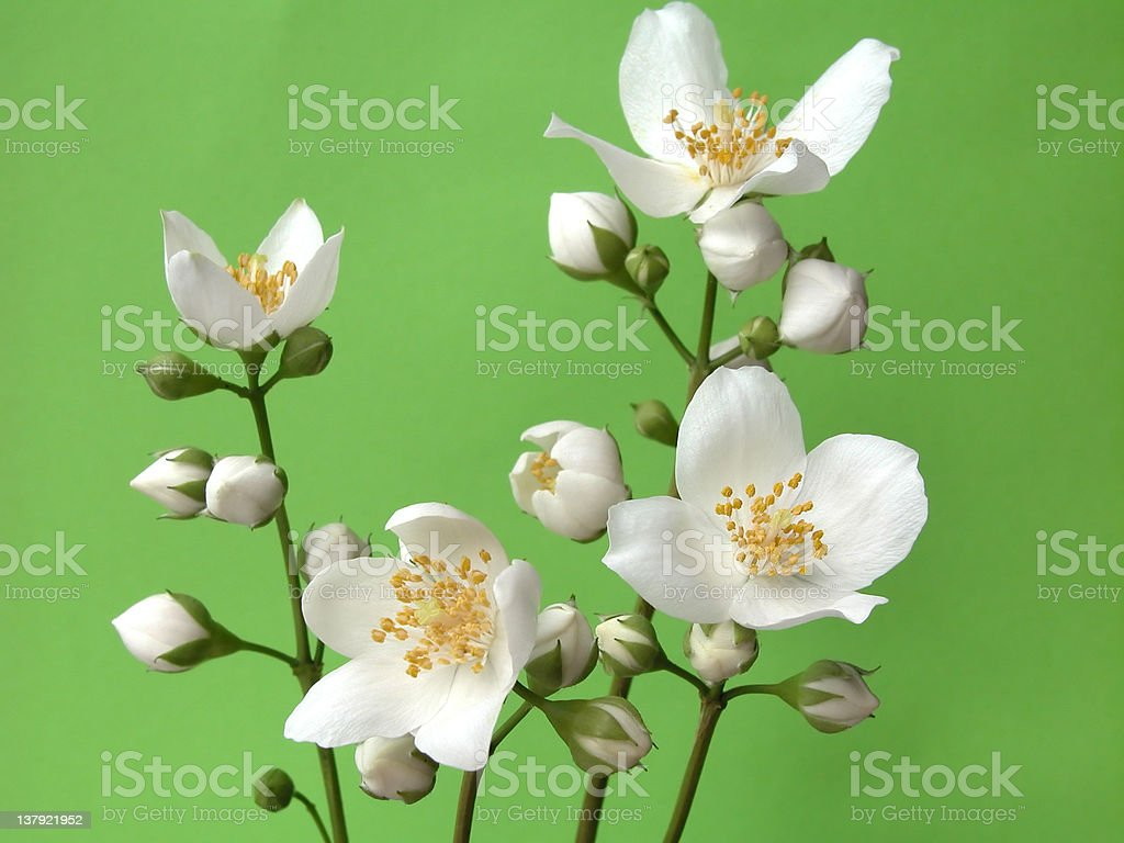 jasmine royalty-free stock photo