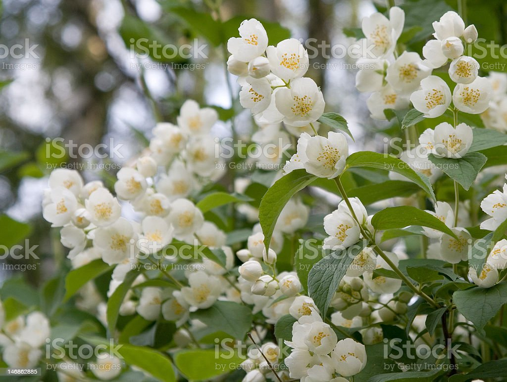 Jasmin royalty-free stock photo