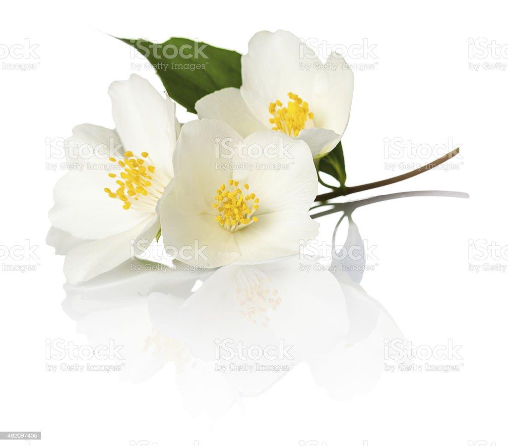 Jasmine stock photo