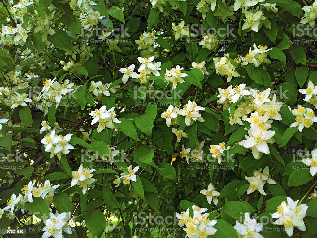 Jasmine. stock photo