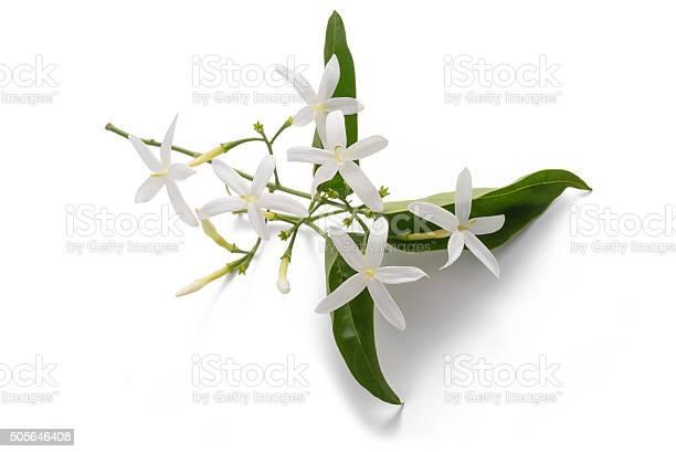 Jasmine picture id505646408?b=1&k=6&m=505646408&s=612x612&h=rvyfeqwrwcfrhdnxgcy4n8wt4trhdc4qpvwdl z9w2y=