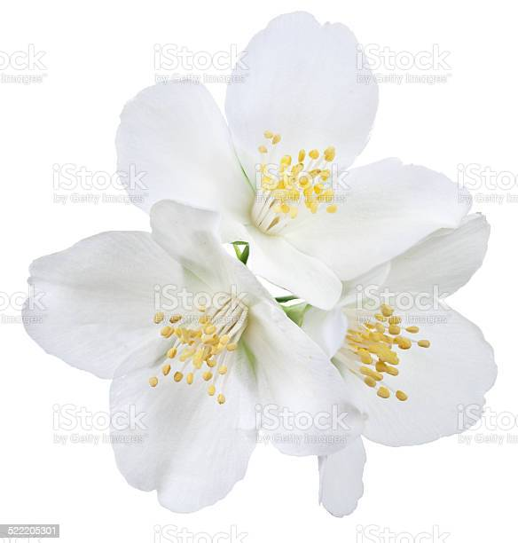 Jasmine picture id522205301?b=1&k=6&m=522205301&s=612x612&h=fl xfv uvybibjoo3dc7qgxc hy0etc 9yfzsazm v0=