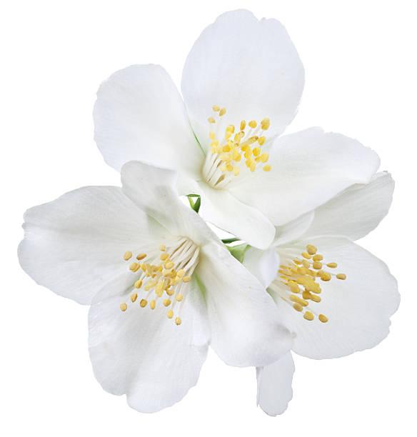 Jasmine picture id522205301?b=1&k=6&m=522205301&s=612x612&w=0&h=27rjdnp8c antdt7of9p2hkzuxluwflmwdebmpl vry=