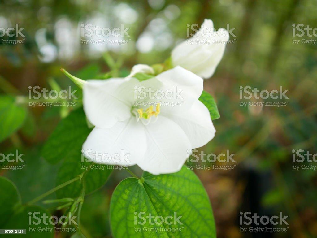Jasmine royalty-free stock photo