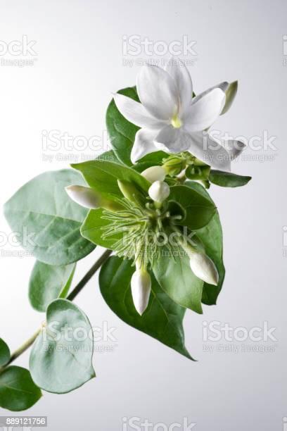 Jasmine picture id889121756?b=1&k=6&m=889121756&s=612x612&h=kghavbefzzm9qcfxyl9gdoxbeobs3 otujxezvqhcps=