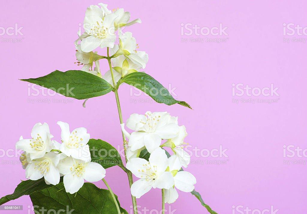 jasmine - 로열티 프리 0명 스톡 사진