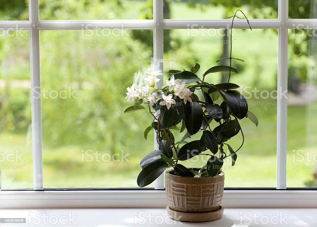 jasmine room plant on windowsill stock photo