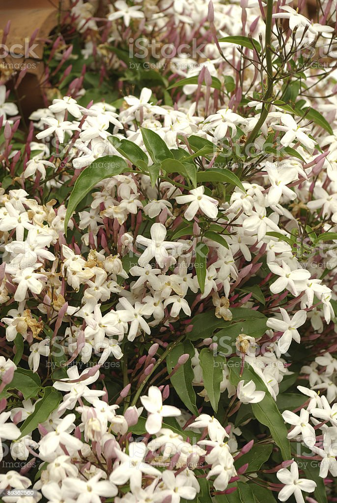 jasmine thicket stock photo