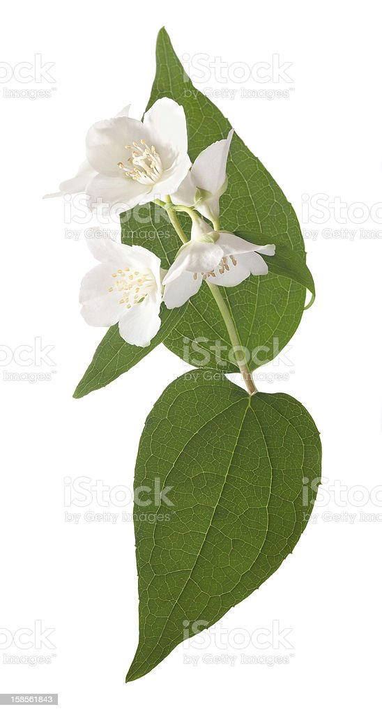 jasmine 흰색 꽃 녹색 잎 royalty-free 스톡 사진