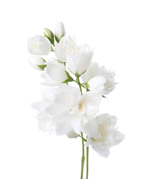 jasmine's(philadelphus) 꽃 흰색 배경에 고립입니다. - 재스민 뉴스 사진 이미지